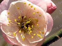 2010年4月10日,在北京明城墙遗址公园,盛开的梅花吸引了众多游人和摄影爱好者前去观赏和拍摄。近千株梅花竞相开放,品种繁多,约50余种。在这里游人还能感受到百年沧桑的古城墙。