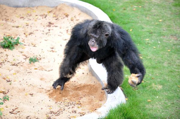 广西首次引进非洲黑猩猩 落户南宁动物园[组图]