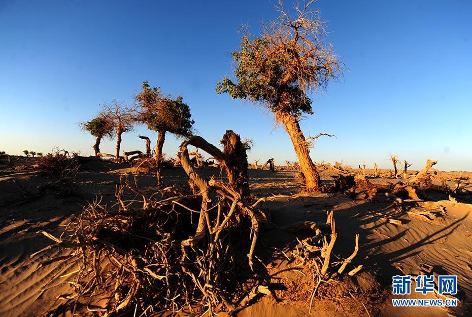 """高清:大漠戈壁""""怪树林"""""""