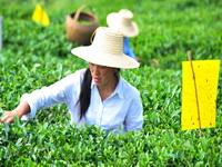 湖北省宜昌市夷陵区是产茶大区,该区近年来整村推进建设高效生态茶园,在茶区广泛全面推广生物杀虫技术,茶园装上了诱蛾杀虫灯和生物杀虫纸,至2009年底已发展生态茶园17万亩,产量达到9151吨,茶产业收入3.1亿元,茶农年收入5000元以上的有15000多户。