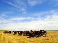 7月6日,呼伦贝尔草原上的牛羊悠闲自在地觅食。西部大开发战略的实施,加快了呼伦贝尔草原退牧还草的进程,优化了草原生态环境,加大了草原科学承载畜牧的能力,呼伦贝尔由此出现了五畜兴旺的景象。