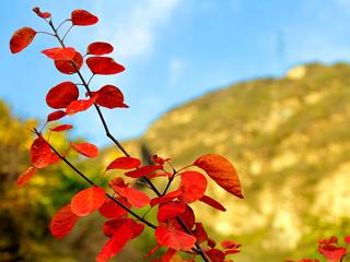 深秋到妙峰山赏红叶 别有一番风味