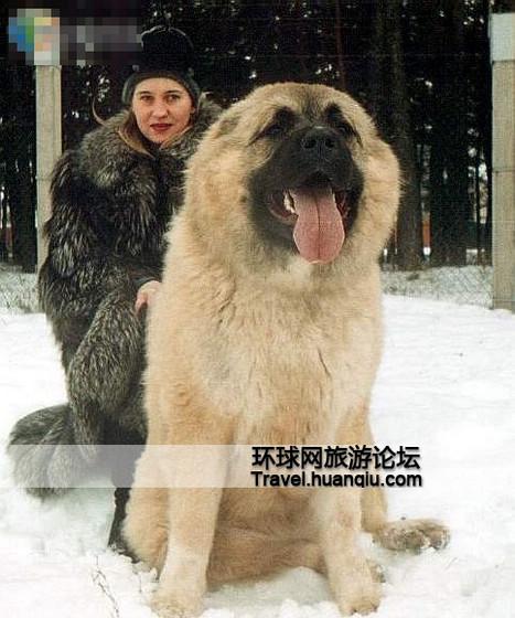 ...世界上体形最大的狗   高加索犬是原产于车臣等前苏联中亚少...