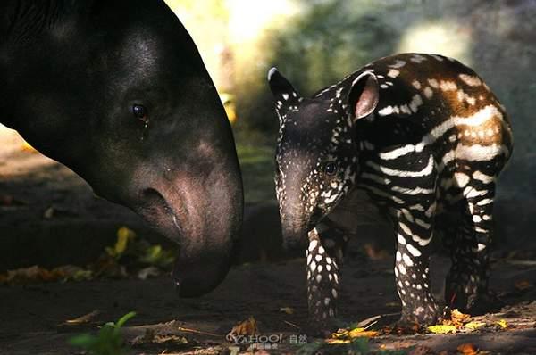 全球濒危哺乳动物 太珍稀了