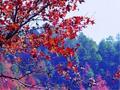南国枫叶正是当红时
