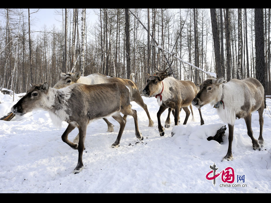 鄂温克人和他们的驯鹿 图片中心 中国网