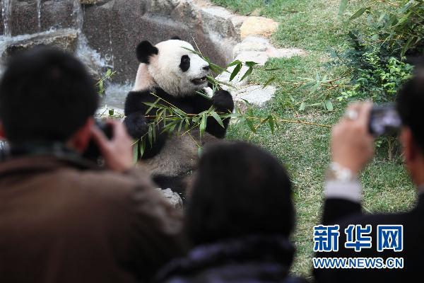 """大熊猫/1月18日,大熊猫""""心心""""在吃竹叶。..."""