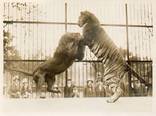 土耳其动物园老虎杀死狮子