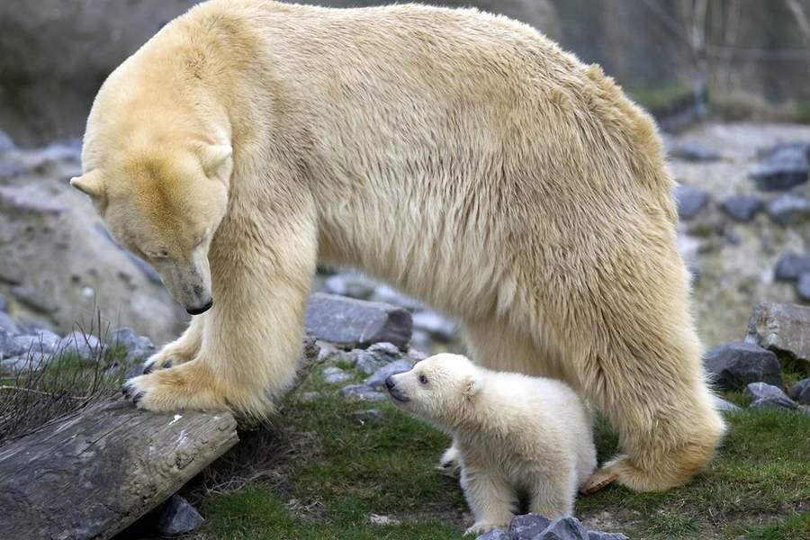 北极熊幼崽维克斯抬头望着图片olinka,在鹿特丹的blijdorp动物园,荷兰蜘蛛侠玩具远征英雄母亲图片