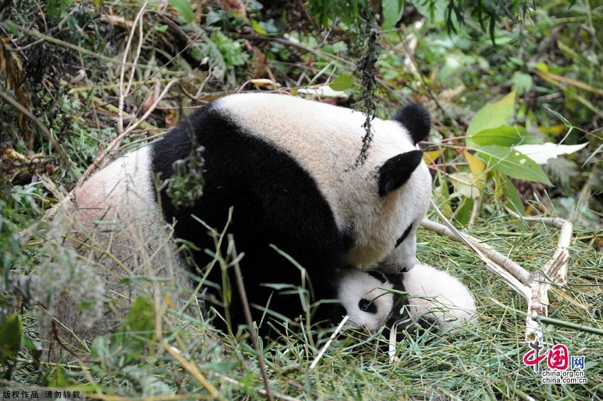 2011年大熊猫野化放归研究对象初步确定