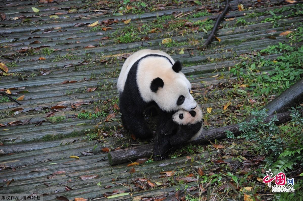 可爱的大熊猫; 大熊猫半野化环境中喂养;;