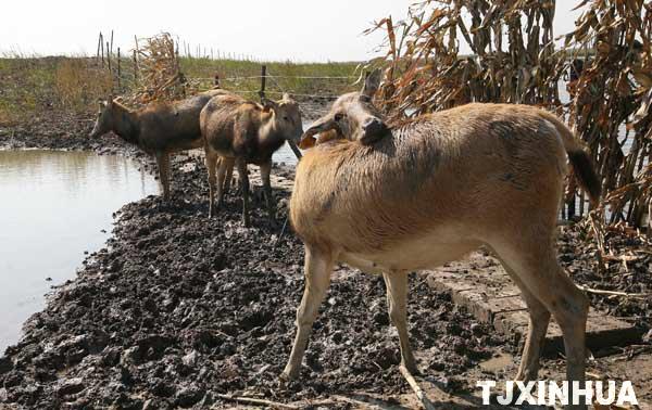 七里海重新引进麋鹿品种成麋鹿乐园
