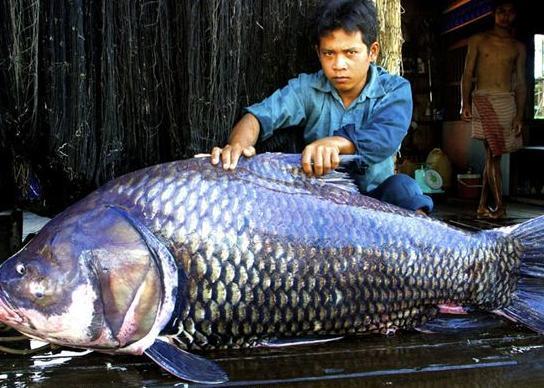 """湄公河 最大/""""生活在湄公河的巨型鱼类比地球上任何一个地方都要多。..."""