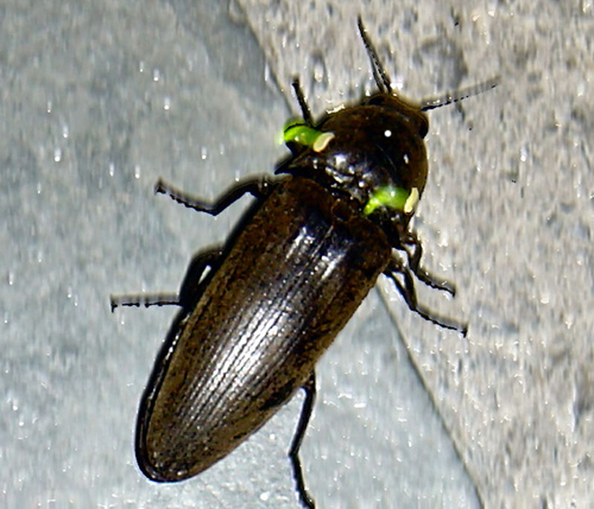 世界昆虫之最 吹泡虫可跳71厘米高