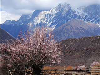 西藏林芝:雪山桃花相映成趣
