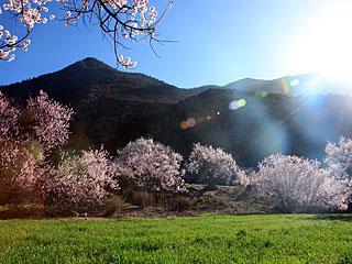 西藏林芝:桃花盛放
