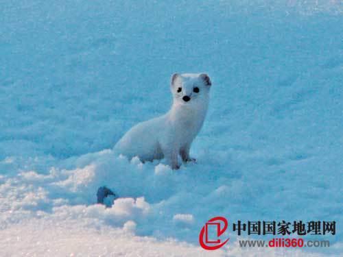 雪地小猎手 雪鼬-盘点姓雪的动物 世界屋脊上的胖鸟雪鸡