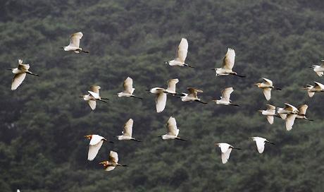 柳城:生态和谐美 白鹭田间飞