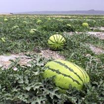 """硒砂瓜成为宁夏农产品走向全国的一张靓丽的""""绿色""""名片[组图]"""