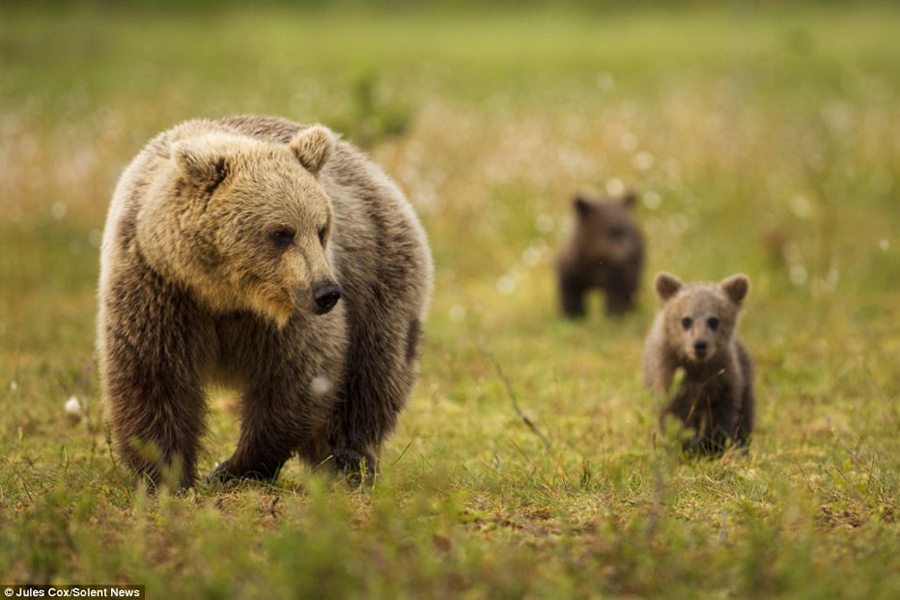这些活泼可爱的棕熊幼崽充满活力,在森林里爬上爬下,时而打斗嬉闹