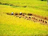 湖北早稻单产增幅居全国第一[组图]