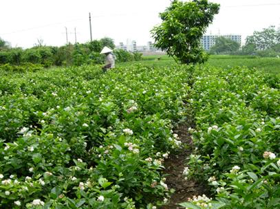广西横县茉莉花茶产量位居世界第一_ 视频中国