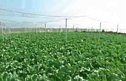 北京产冬储大白菜今天上市_视频中国婚礼v视频步奏图片