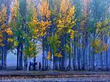 梦幻伴河边 金色杨树林[组图]