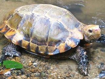 凹甲陆龟 -龟鳖目 中国国情