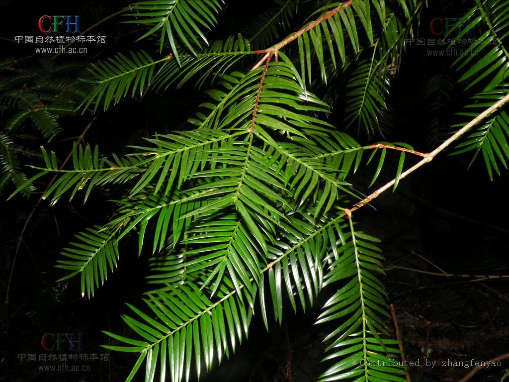 九龙山榧树