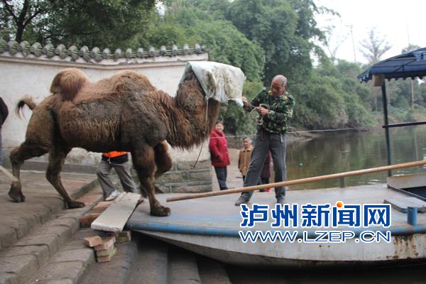 四川泸州动物园搬新家 骆驼怕水不上船