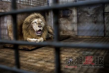 长沙生态动物园雄狮剪指甲