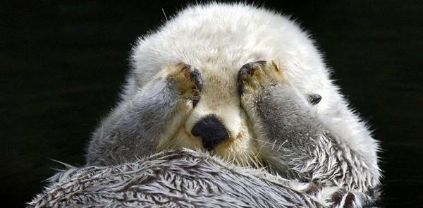 一周外媒动物图片精选 羞涩小海獭用手捂住眼睛
