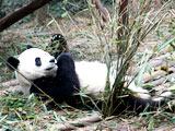 趣图:能吃能睡的大熊猫[组图]