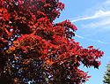 夏天的紅葉