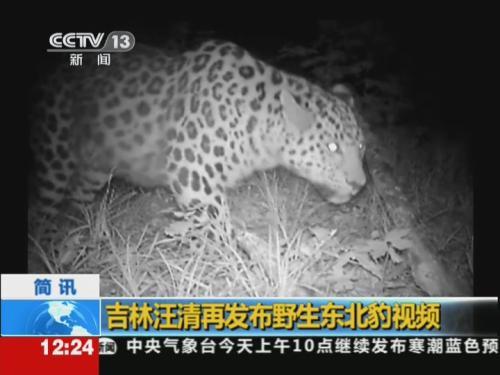 吉林汪清再发布野生东北豹视频河源视频的主播摩女图片