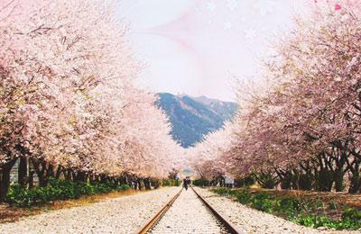 韩国樱花台手机版