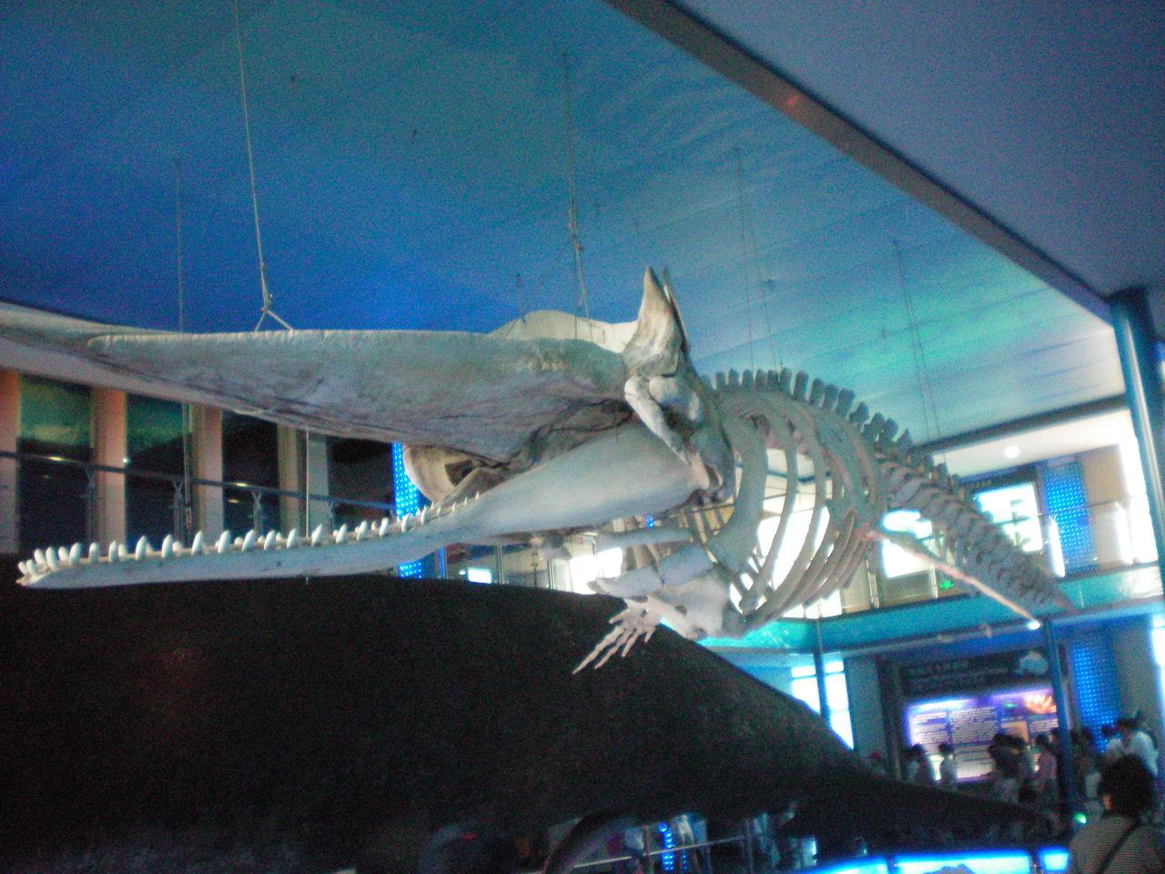 纽约展出17米长抹香鲸骨架 呼吁对鲸的保护