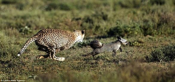 照片中,一只可爱的猎豹幼仔跃上野生动物摄影师的肩头,毫无畏惧之色
