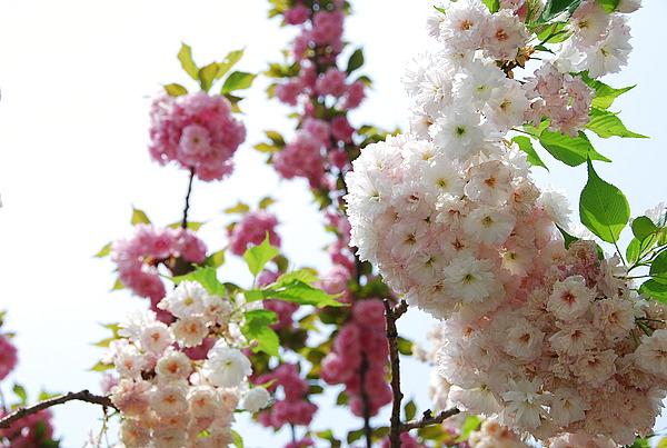 樱花灯笼折法图解