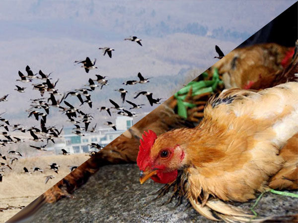 H7N9病毒来自东亚野鸟和中国鸡群基因重配图片