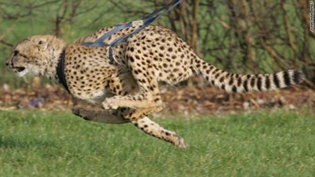 南非防偷猎:训练猎豹奔跑 犀牛角涂上毒药