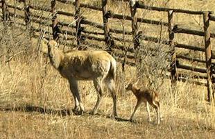 河北野生動物保護區麋鹿喜添新丁(組圖)