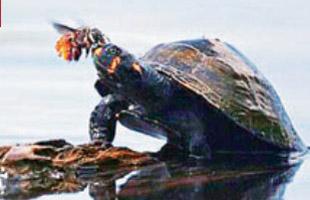 蜜蜂吸乌龟眼泪补充盐分 全球首次拍到照片(图)