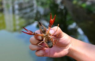 昆明滇池流域小龍蝦氾濫 威脅水生態安全(組圖)