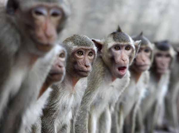 国际在线消息:据新华社电,在泰国,猴子不仅生活在动物园里,城市、寺庙和山林里也常常可见野生猴出没。为了更好地管理这些野生猴、减少猴子袭人事件,泰国相关部门决定给它们发放身份证。 泰国国家公园及野生动植物保护部门副局长5日说,泰国野生猴数量庞大,由于疏于管理,这些猴子经常给村民或游客造成麻烦。通过给野生猴体检并发放身份证,每只猴子的身体状况及行为描述都会被记录在案,这将对靠近危险猴子的游客起到警示作用。这一工程将首先在泰国中部的沙拉武里府试运行。 在泰国各地区,猴子最著名的地方是位于泰国中部的华富