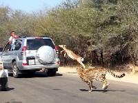 南非羚羊遭猎豹追捕惊险跳车保命[组图]