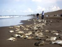 墨西哥海滩现300条死鱼死因成谜[组图]