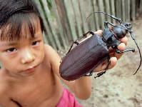 南美洲16厘米巨型甲虫可咬断铅笔[组图]