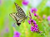 花丛中的精灵—蝴蝶[组图]